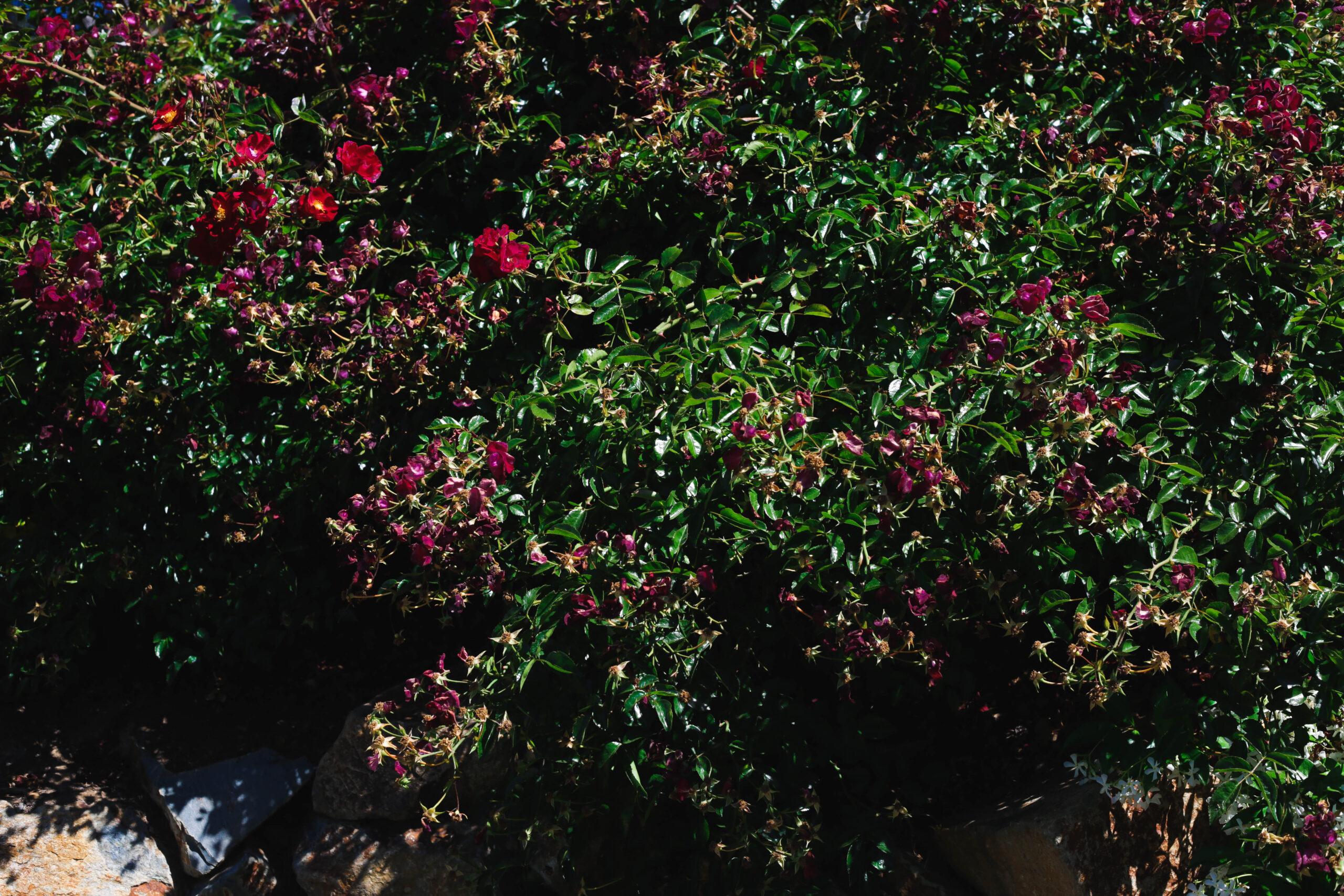 this image shows fair oaks california pruning